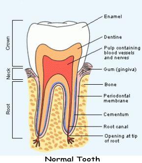 Normal Anatomy ot Tooth and Mouth: Kathmandu Dental Home